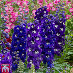 Delphinium 'Dark Blue & White Bee'
