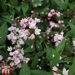 Deutzia × rosea 'Yuki Cherry Blossom'