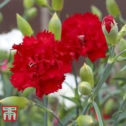 Dianthus 'Crimson'