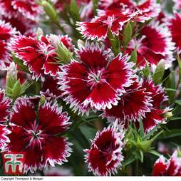 Dianthus Summer Diamond 'Ruby Picotee'