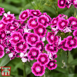 Dianthus 'Diabunda Purple'