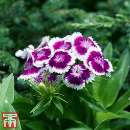 Dianthus 'Diabunda Purple Picotee'