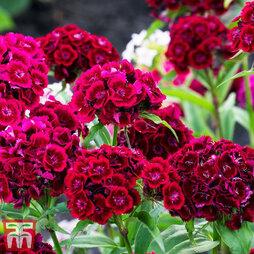 Dianthus 'Diabunda Red'