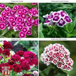 Dianthus Diabunda Collection