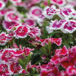 Nurserymans Choice Dianthus Plants