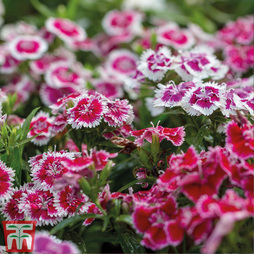 Nurserymans Choice Dianthus