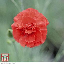 Dianthus 'Diane'