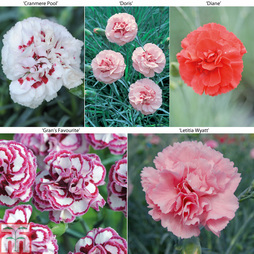 Dianthus 'Perfumed Pinks' Collection