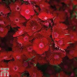 Dianthus barbatus 'Rockin' Red'