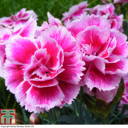 Dianthus 'Odessa Easy Pink'