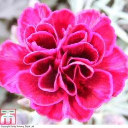 Dianthus 'Odessa Red'