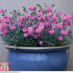 Dianthus 'Tickled Pink '