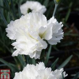 Dianthus 'White'