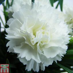 Dianthus 'Odessa Pure'