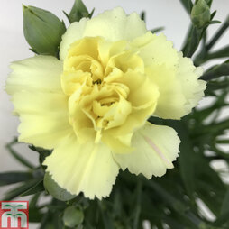 Dianthus 'Sunflor Bling Bling Yellow'