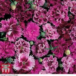 Dianthus chinensis heddewigii 'Victoriana'
