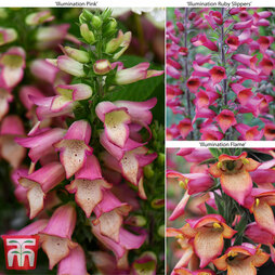 Foxglove 'Illumination Trio'