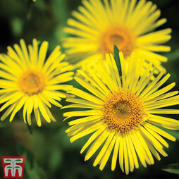 Doronicum caucasicum 'Little Leo'