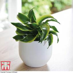 Dracaena fragrans 'Tornado' (House Plant)
