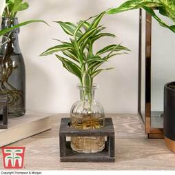 Dracaena sanderiana 'Victory' in Bottle & Stand (House Plant)