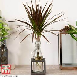 Dracaena marginata 'Magenta' in Bottle & Stand (House Plant)