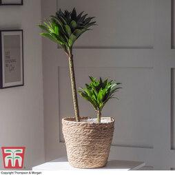 Dracaena fragrans 'Compacta' (House Plant)