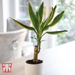 Dracaena fragrans 'Golden Coast' (House Plant)