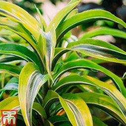 Dracaena fragrans (Deremensis Group) 'Lemon Lime' (House Plant)