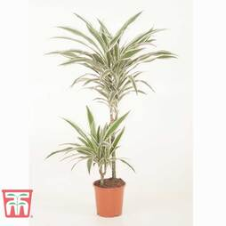 Dracaena fragrans (Deremensis Group) 'White Stripe' (House Plant)
