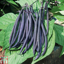 Dwarf Bean 'Mistic' (French Bean)