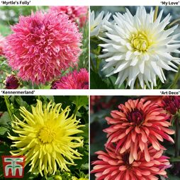 Dahlia 'Sunlight Collection'