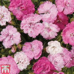 Dianthus 'Dynasty Pink Magic'