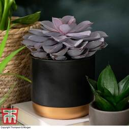 Echeveria 'Purple Pearl' - Shine Like a Pearl (House plant)