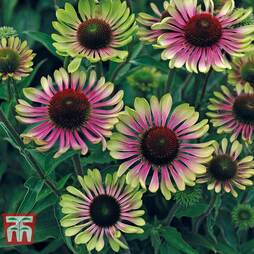 Echinacea 'Green Twister' Bare Root
