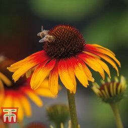 Echinacea 'Parrot'