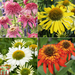 Nurserymans Choice Echinacea purpurea Plants