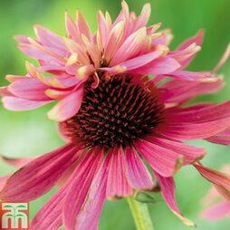 Echinacea purpurea 'Double Decker'