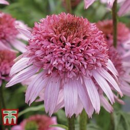 Echinacea 'Double Papallo Pink'