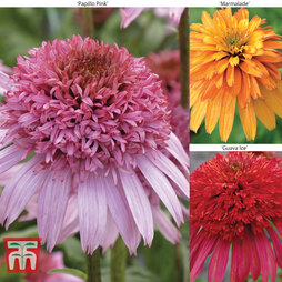 Echinacea 'Doubles Collection'