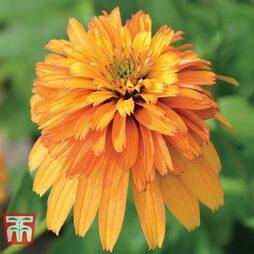 Echinacea 'Double Marmalade'