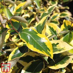 Elaeagnus x submacrophylla 'Gilt Edge'