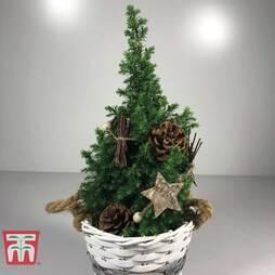 Mini Tree (Elwoodii) - Gift
