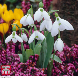 Erica and Snowdrop Collection