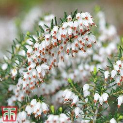 Erica x darleyensis f. albiflora 'White Perfection'