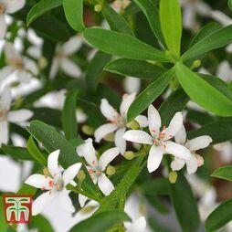 Philotheca myoporoides - Gift