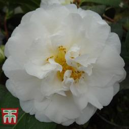 Camellia x williamsii 'E.T.R. Carlyon'