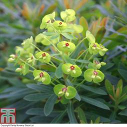 Euphorbia x martinii 'Baby Charm'