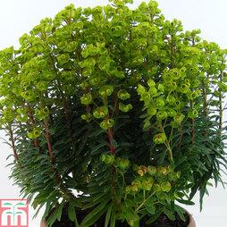 Euphorbia x martinii 'Baby Charm' - Patio