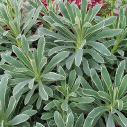 Euphorbia characias 'Glacier Blue'