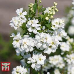 Exochorda 'Magical Springtime'